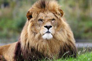 proud fierce lion
